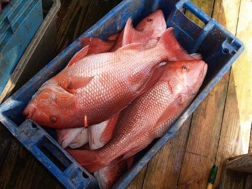 Picture of Snapper, American Red