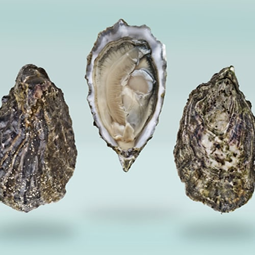 Picture of Oysters, Sanctuary
