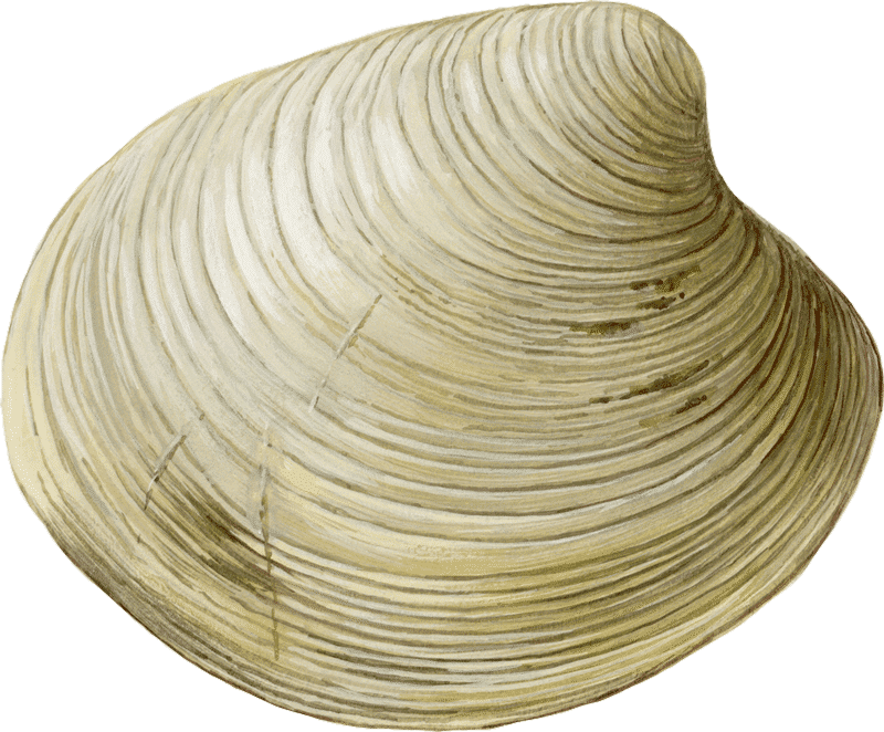 Clams (Hard Shelled, Farmed)