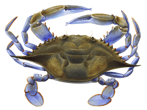 Crabs, Soft Shell