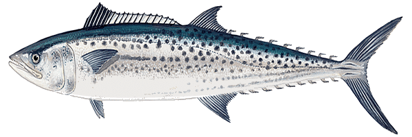 Mackerel (Farmed), Spanish