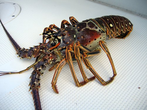 Picture of Lobster Tails (Caribbean)