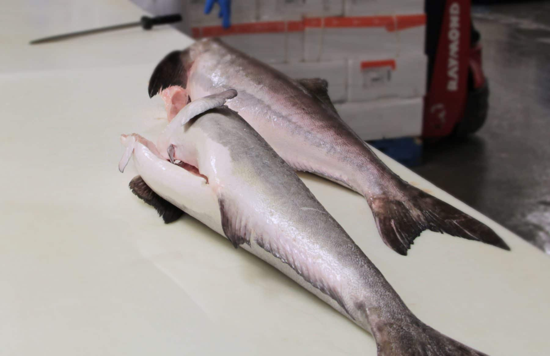 Picture of Cobia